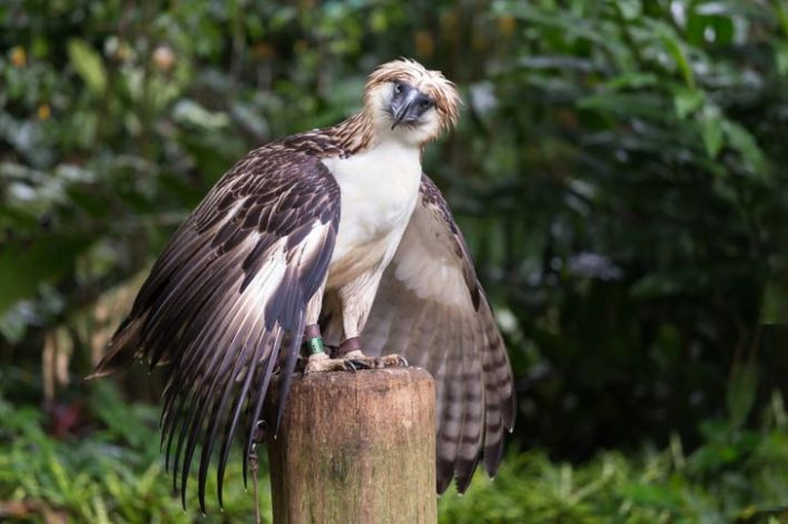 Philippine Eagle on top of a tree trunk