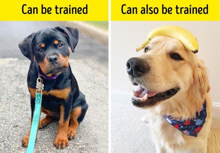 A puppy and a grown golden retriever