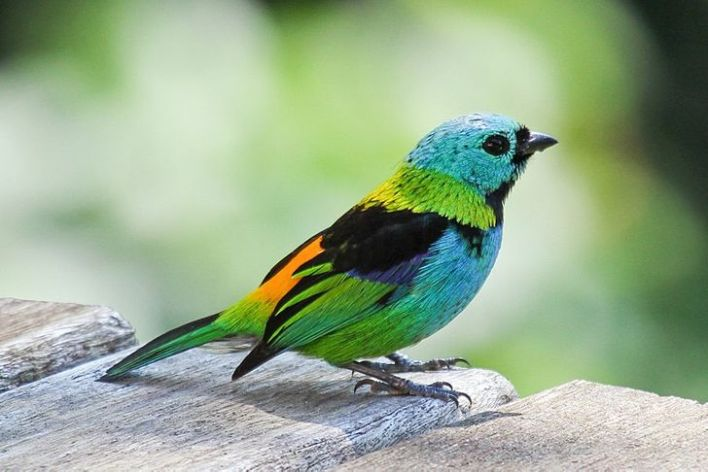 A Green and Blue Paradise Tanager