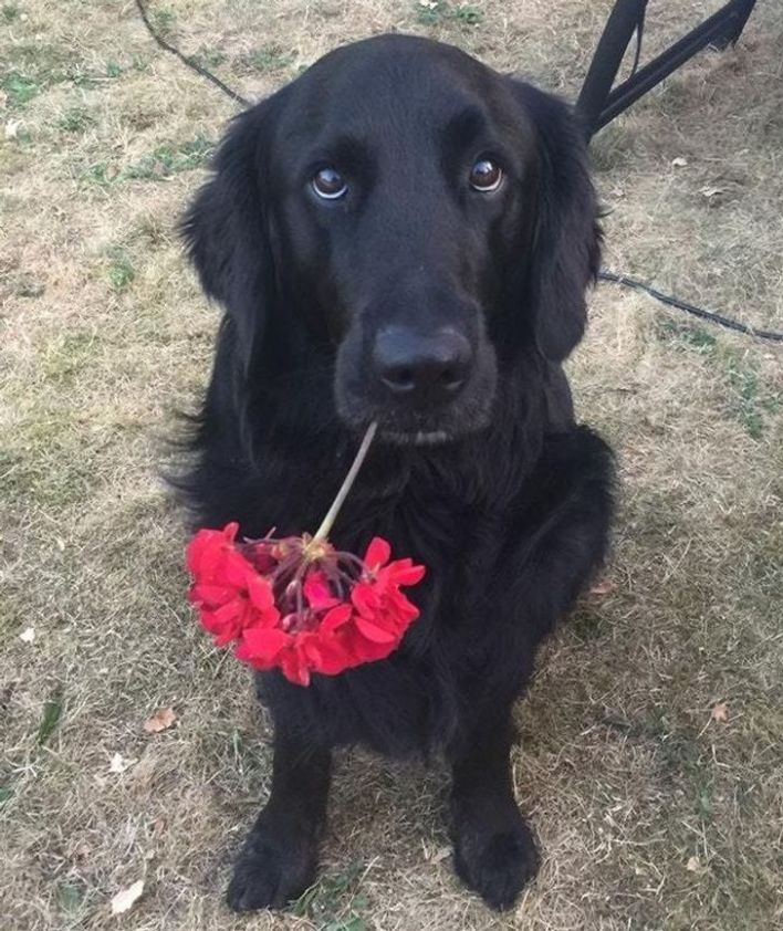 Black retriever giving red flowers to owner