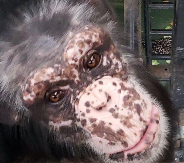 Selfie from a monkey with vitiligo