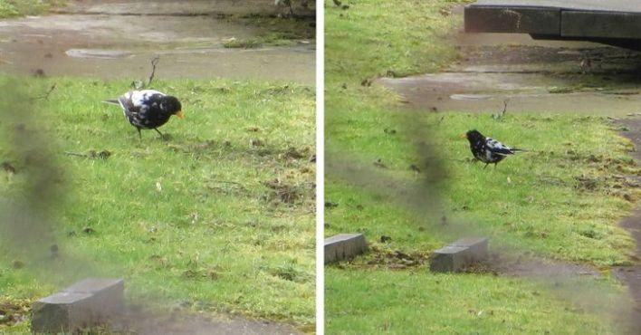 Black bird with Vitiligo