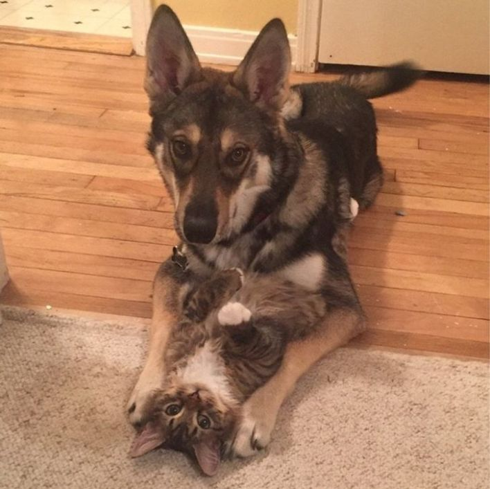 Gray tabby cat and black and brown dog bonding