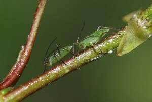 Naturalne środki chemiczne w ogrodzie - roślinny preparat na mszyce