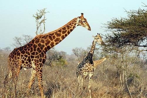 Żyrafy wymierają na naszych oczach