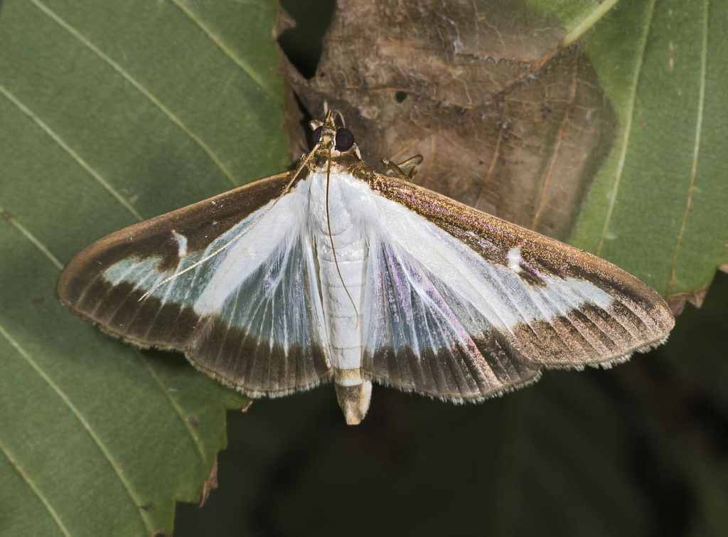 W Polsce trwa inwazja obcego gatunku azjatyckiej ćmy Cydalima perspectalis, która niszczy krzewy bukszpanu