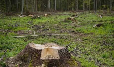 Ekologiczne konsekwencje wycinki drzew w Puszczy Białowieskiej sięgają daleko poza same obszary poddane wycince