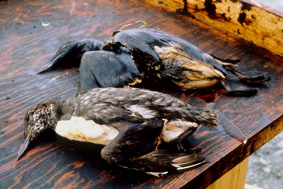 Setki tysięcy ptaków zostały dotkniętych wyciekiem ropy