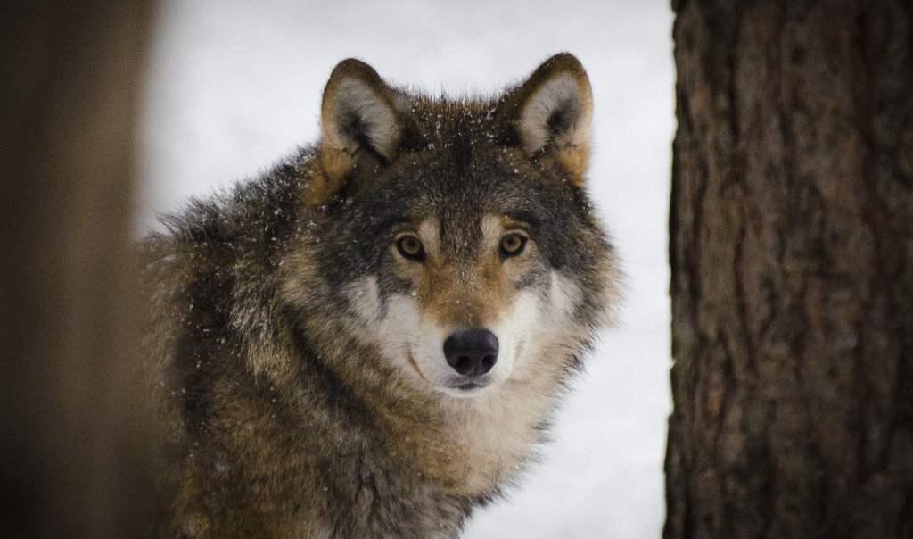 Telemetria pomoże w ochronie wilków i rysi na polskich drogach