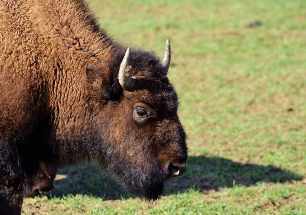 Żubr stał się gatunkiem mniej zagrożonym w Czerwonej księdze IUCN