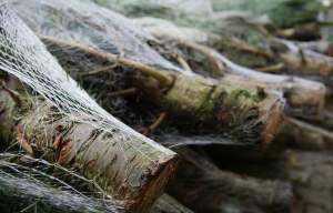 Choinka cięta czy w doniczce - na co zwrócić uwagę przy zakupie i użytkowaniu żywego drzewka