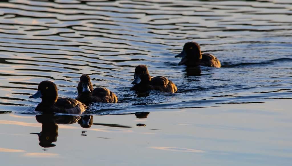 Zmiany klimatu zmieniają zasięg zimowania kaczki morskiej ogorzałki