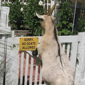 No Goats Allowed