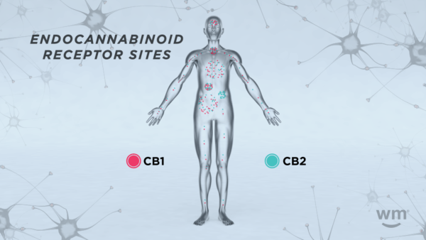 Endocannabinoid Receptor Weedmaps