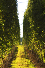 Hop field in Worcestershire