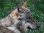 Interdisziplinärer Fachvortrag mit anschließender Diskussion – Der Wolf: Mythos – Märchen – Management