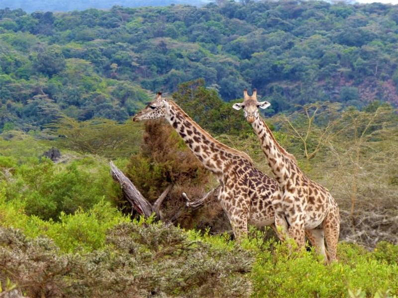 Giraffen in Tansania