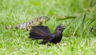 The Ani calling alarm on the tegu lizard