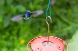 White-necked jacobin hummingbird at Asa Wright