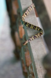 A snail eating snake that crawled out from the couch on Ashley's first day in Trinidad (dipsas variegata trinitatis)