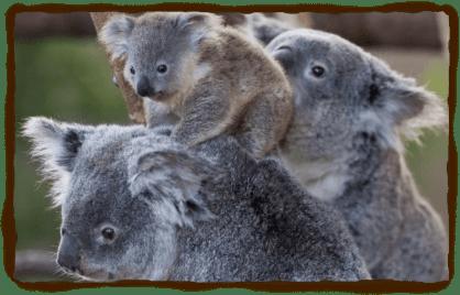 koala4_0