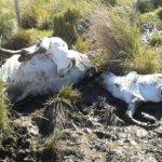 Rund 500 Rinder verenden an grausamen Kältetod