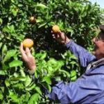 Trinken wir bald Gen-Orangensaft?