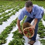 Erdbeersaison beginnt mit Preisen von 60.000 Gs. pro Kilo