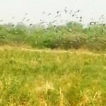Ein unersättlicher Schädling: Die Taube