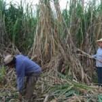Wenig Zuckerrohr und geringer Ertrag