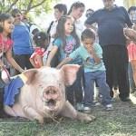 Das größte Schwein wird gesucht