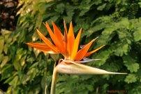 Paradiesvogelblume / Strelitzia reginae / Papageienblume