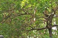 Baum mit lustigen Früchten in Madeira