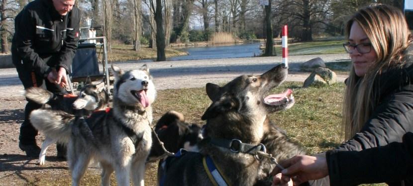 Schlittenhunderennen in Wörlitz