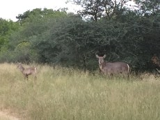 Mother & Baby Waterbuck