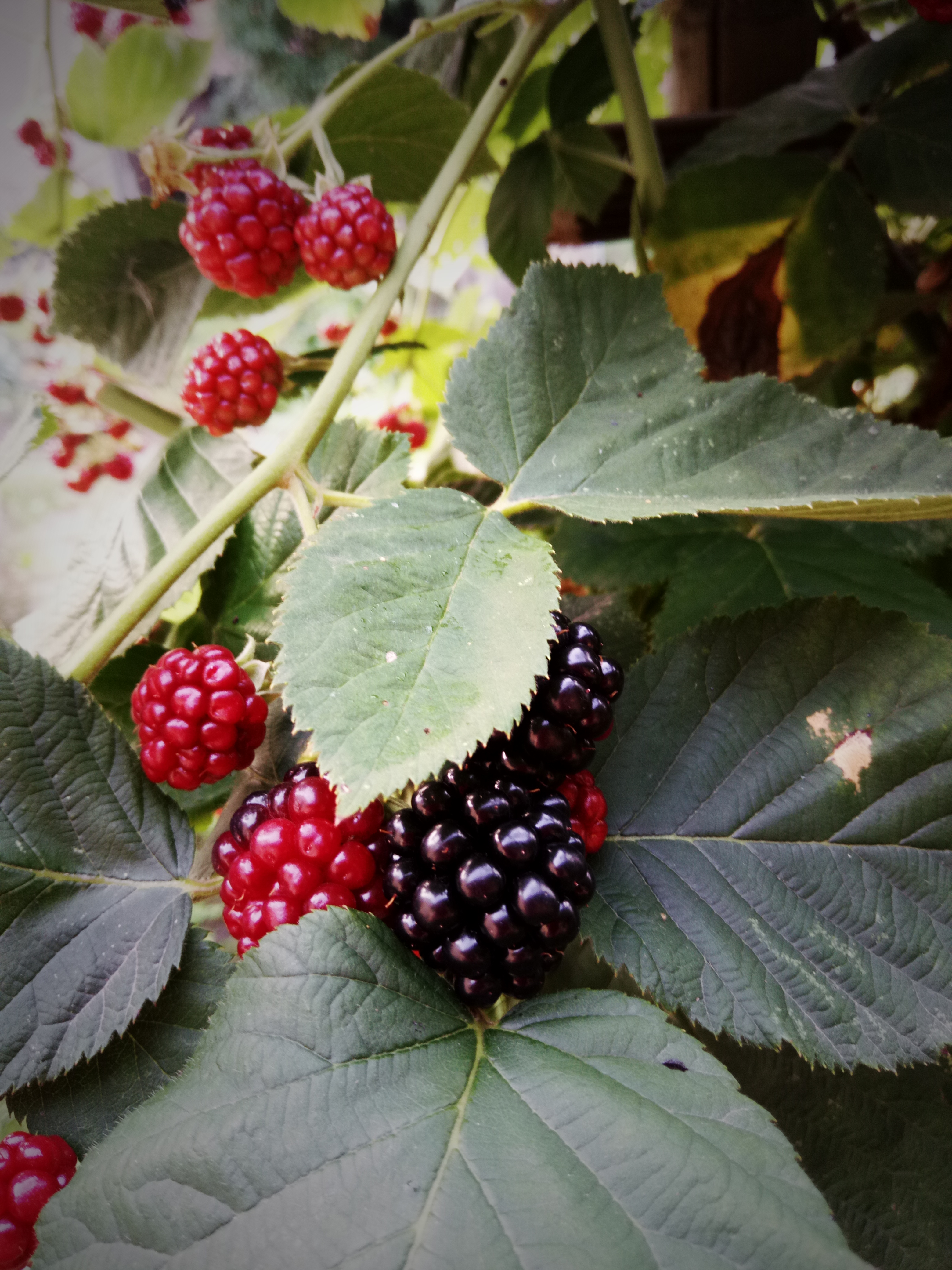 Brombeere, Blackberry, Rubus fruticosus…
