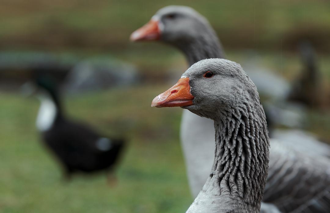 Cada vez más gobiernos dicen adiós al foie gras