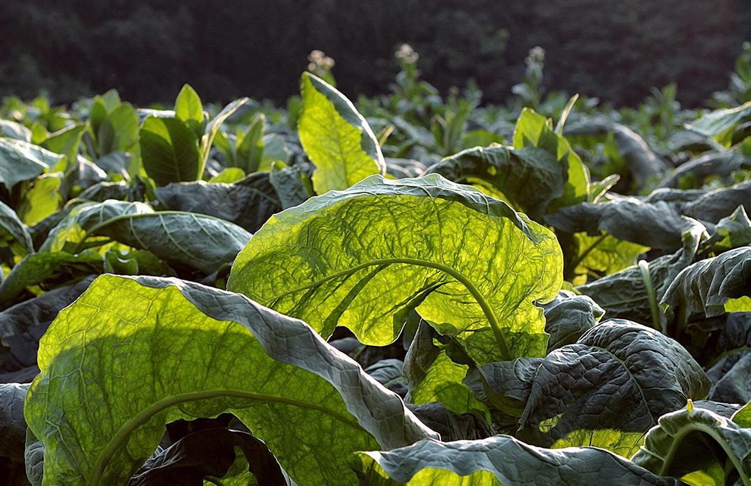 Estudio revela que las plantas «gritan» cuando se estresan