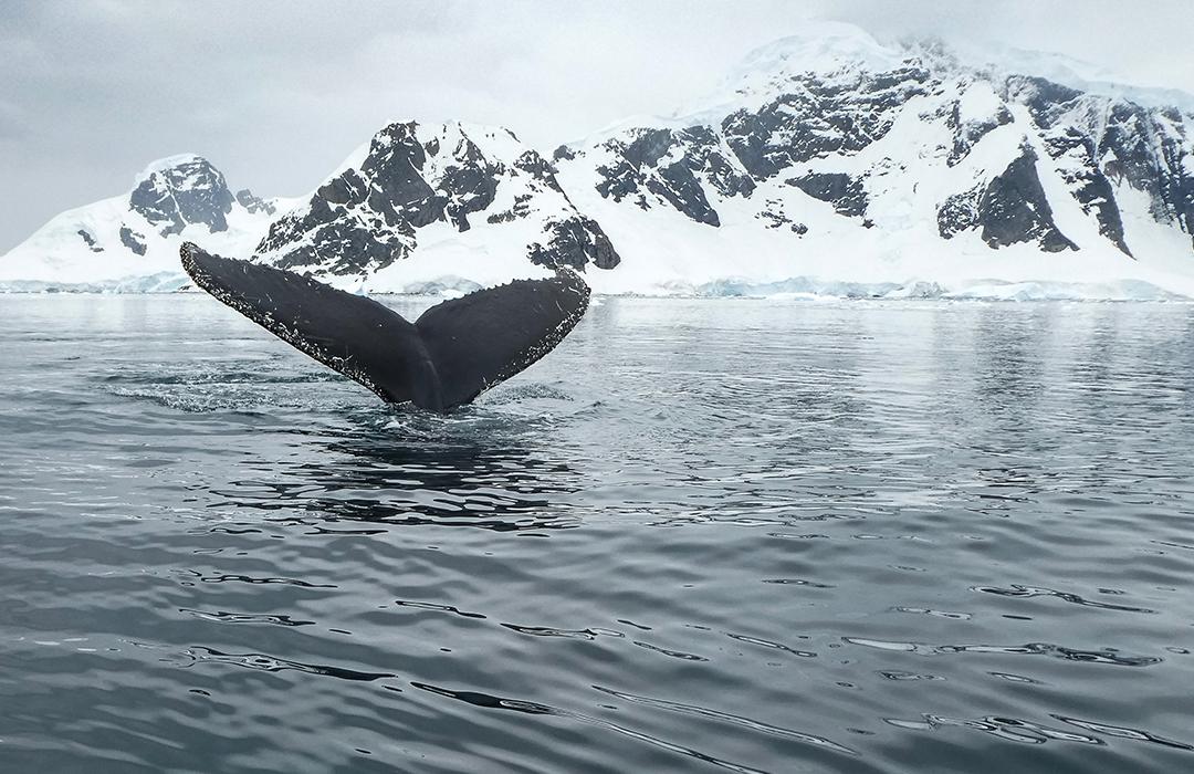 El regreso de estas ballenas prueba el éxito de la protección a las especies