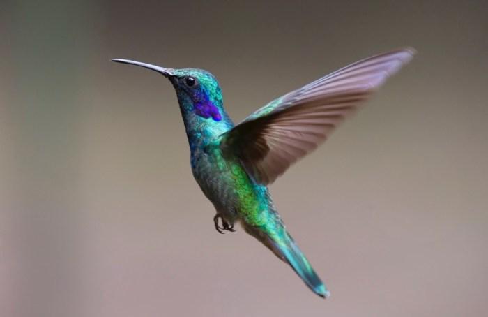 Los colibríes son capaces de ver colores que los humanos no