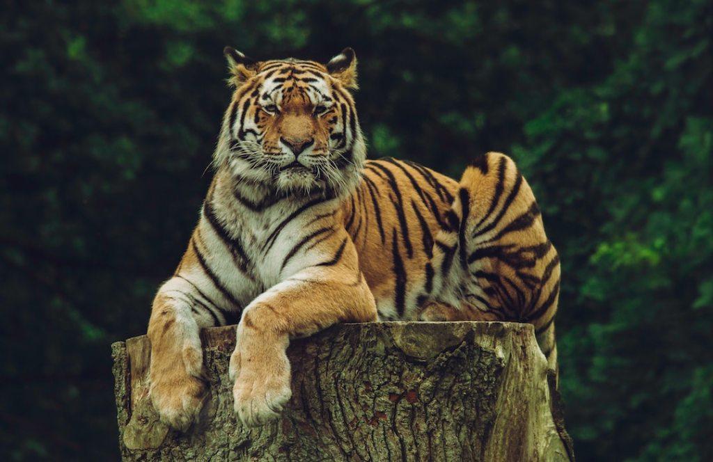 Hoy celebramos el Día Internacional del Tigre