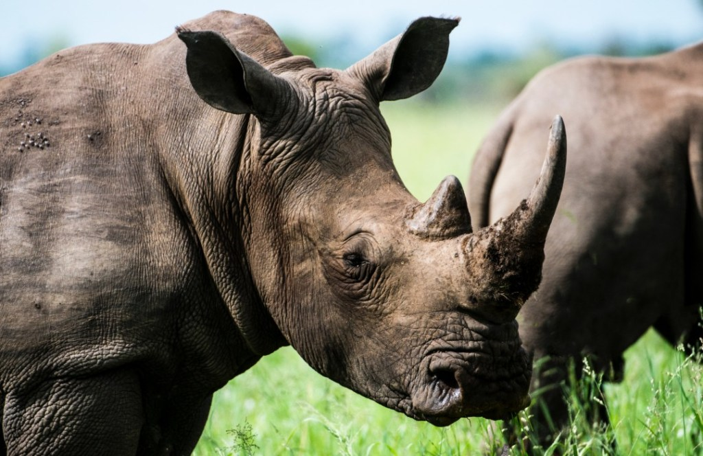 ¡Enhorabuena! Disminuye 53% la caza furtiva de rinocerontes en Sudáfrica