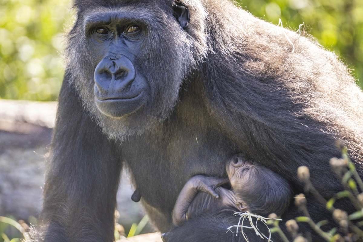 Esta gorila no puede dejar de abrazar a su bebé recién nacido