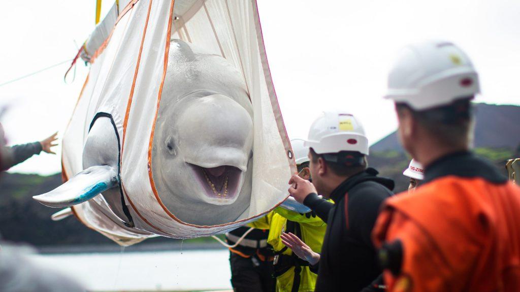 No te pierdas la emoción de estas dos ballenas beluga al recuperar su libertad