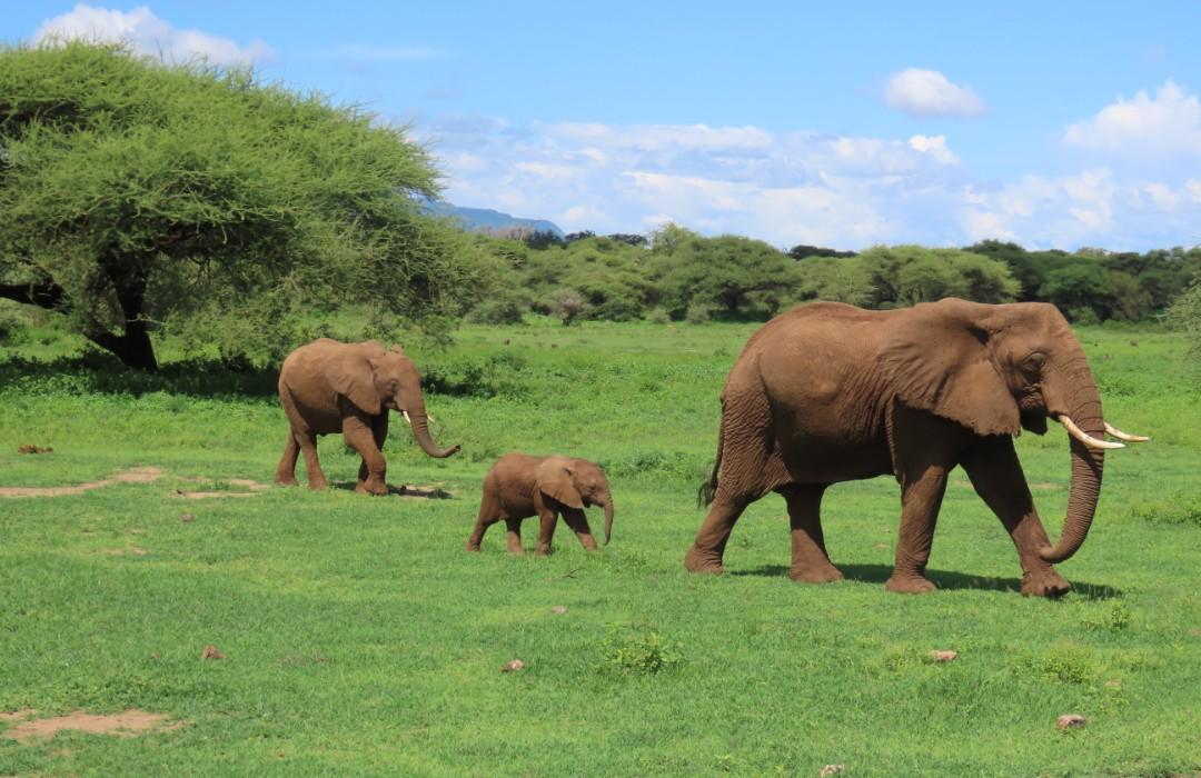 El coronavirus causó un 'baby boom' de elefantes en Kenia