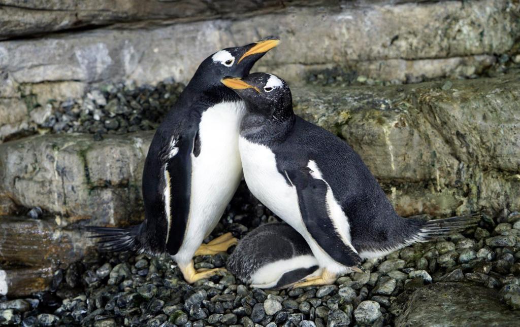 Dos pingüinos hembras se vuelven mamás al adoptar juntas un huevo