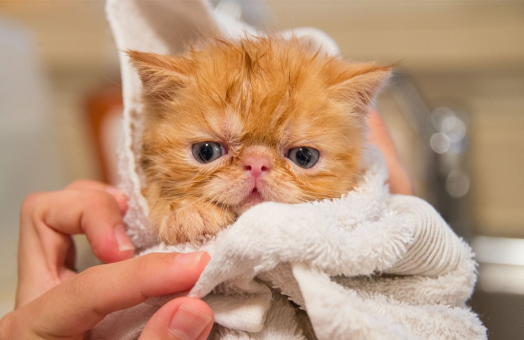¿Debes bañar a tu gato? Aquí te contamos lo que tienes que saber