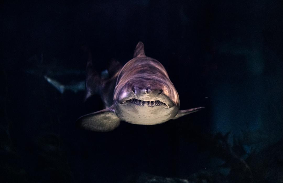 El animal más viejo del mundo es un tiburón que nació en 1505