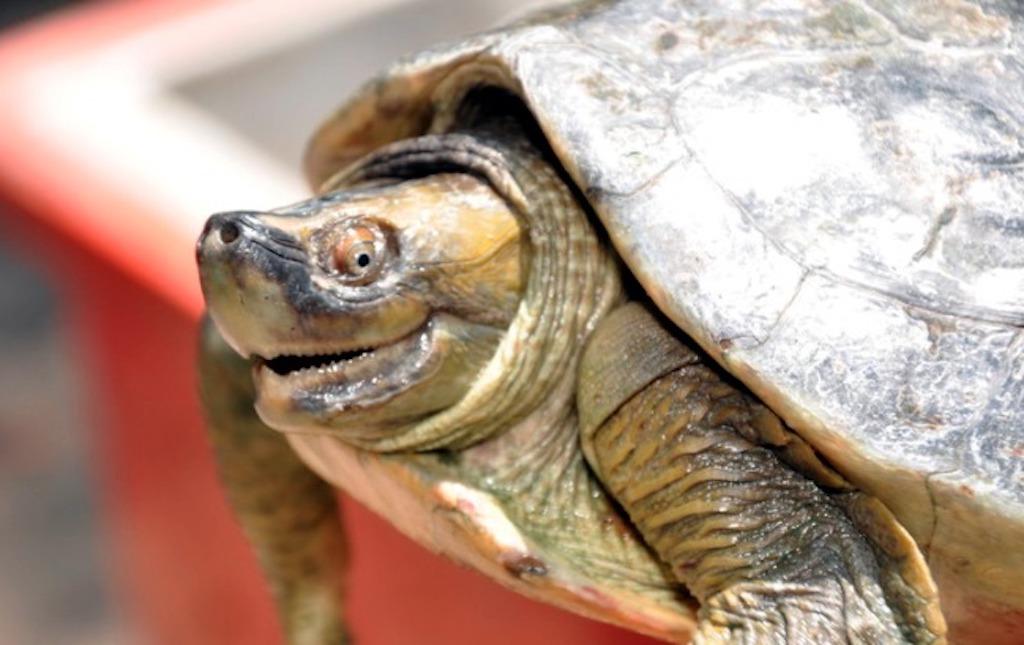 ¡Esta sonriente tortuga dejó de estar en peligro de extinción!