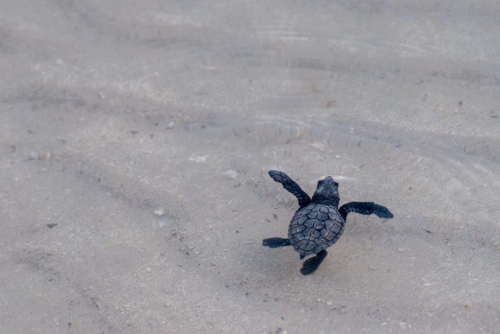 Miles de tortugas en peligro de extinción nacen en Sonora gracias al confinamiento